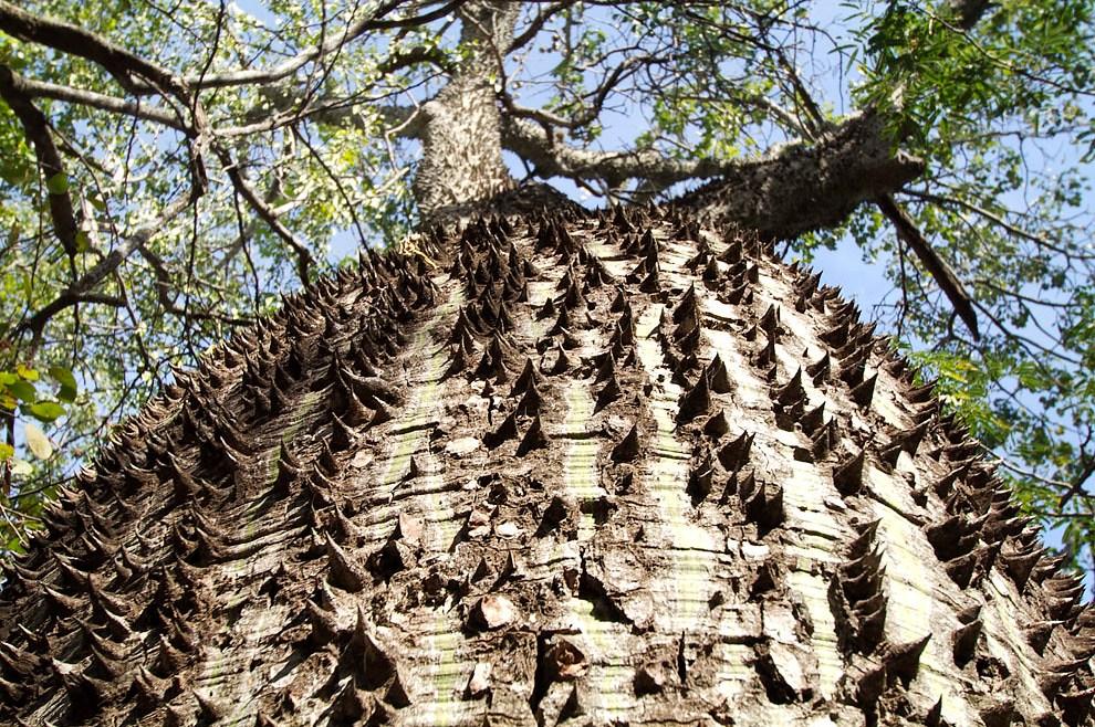 El tronco espinoso de un árbol de Samu´u, bastante común en el paisaje chaqueño. (Tetsu Espósito - Fortín Boquerón, Chaco, Paraguay)