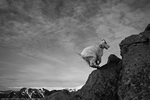 Ingalls Peak - Goat!