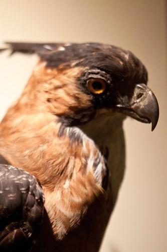 HMNH bird-hawk