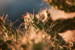 Cholla: walking stick cactus