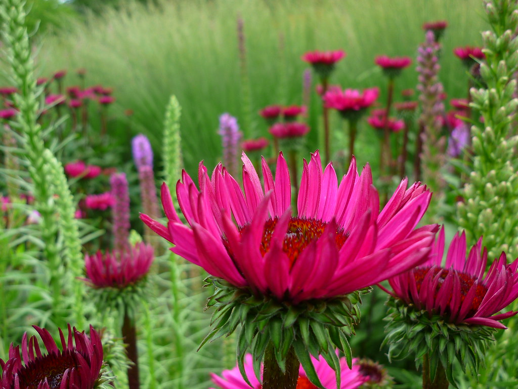 Staude Sonnenhut The World S Best Photos Of Echinacea And Staude Flickr Hive Mind