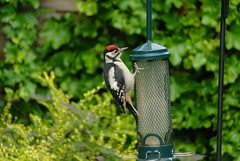 Great spotted woodpecker by Graham Avison