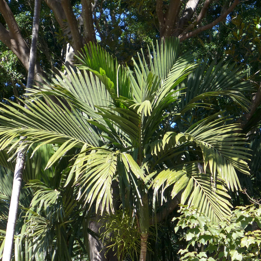 Areca Palm Australia The World 39s Best Photos Of Arecaceae And Palm Flickr