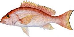 Yellow Eye Snapper Fishing Miami