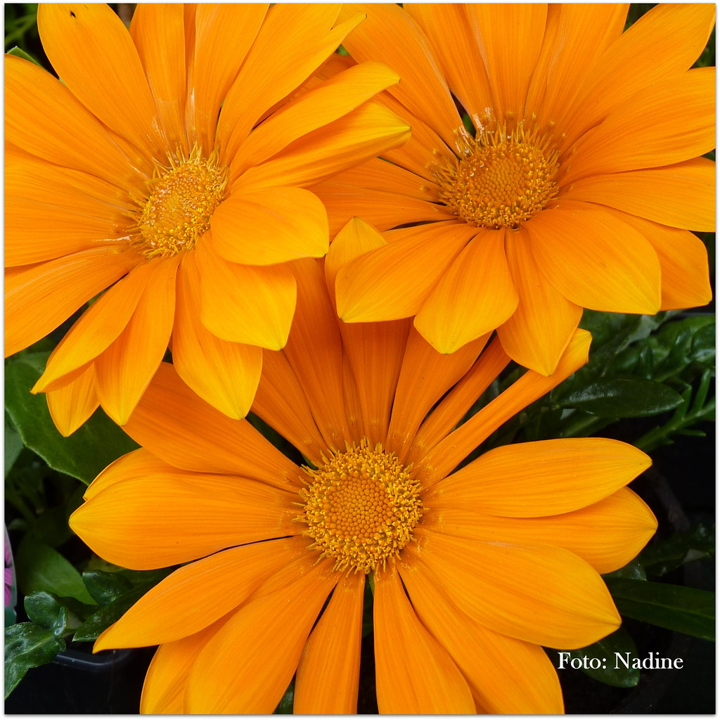 Gerbera Blume The World S Most Recently Posted Photos Of Fleur And Gerbera