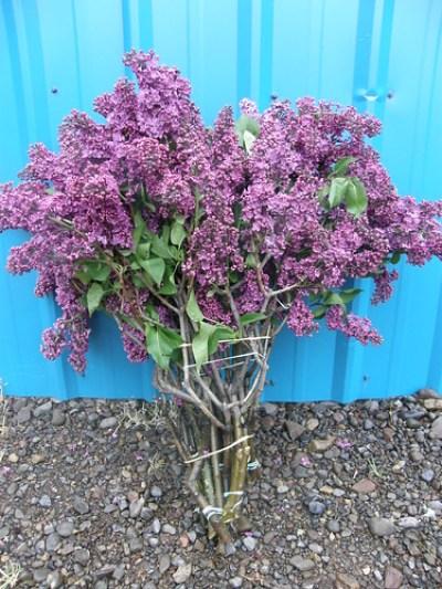 布什淡紫色