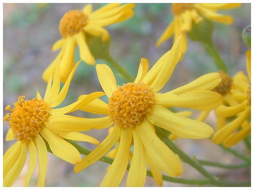 Bitterweed flowers (yellow daisy weed)