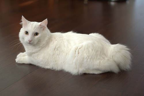 Message Wallpaper Hd White American Bobtail Dbphotosfile Flickr