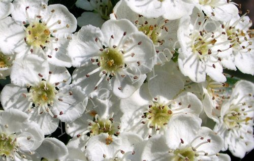3d Name Wallpapers R Hawthorn Blossom In Spring Dense White Hawthorn Blossom