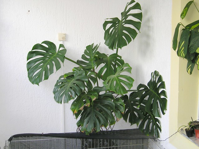 Fensterblatt Monstera Fensterblatt (monstera Deliciosa) | Flickr - Photo Sharing!