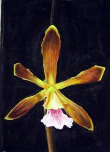 Orquídea (encyclya ...)