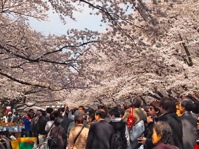 上野公園、満開 / SAKURA HANA-MI