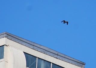 Peregrine Falcon AlaS 01