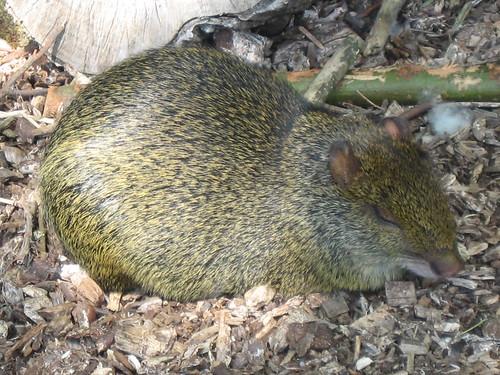 Cute rodent at Newquay Zoo, Cornwall