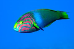 Wrasse in the Blue