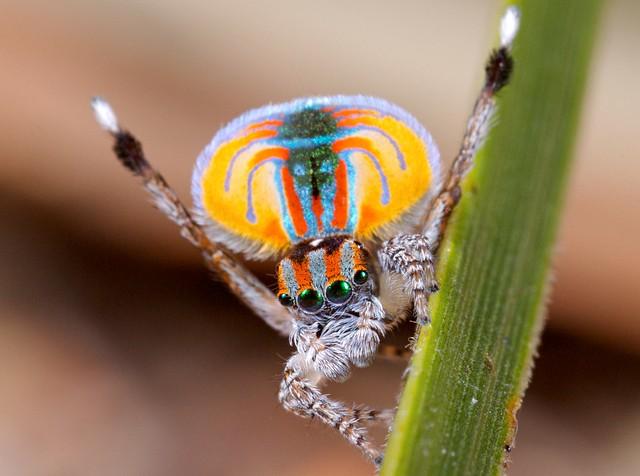 _MG_2945 (4) peacock spider Maratus volans