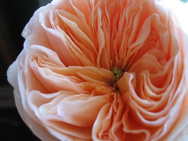 Resolution Wallpaper Hd Juliet Rose Flickr Photo Sharing