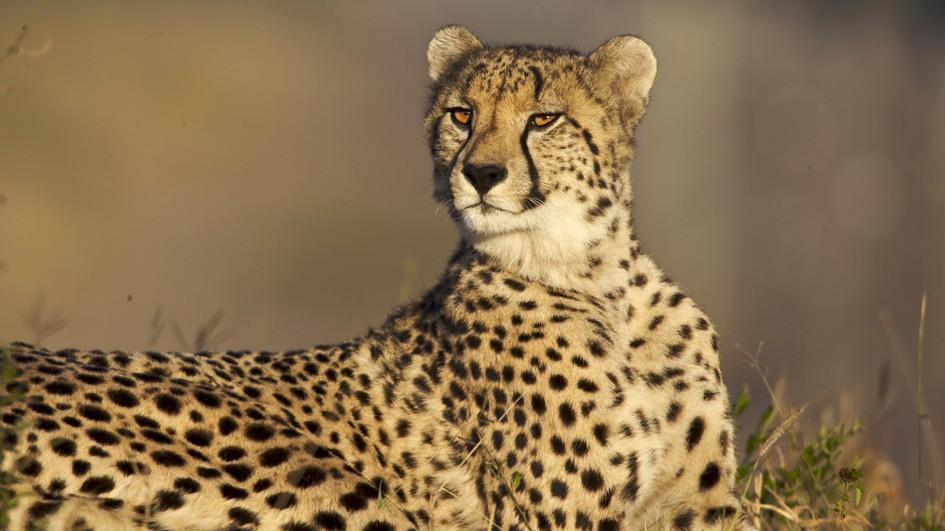Cheetah Carolina Tiger Rescue