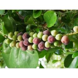 Small Crop Of Sea Grape Tree