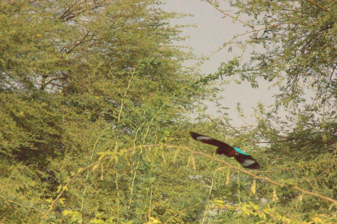 Kingfisher flies over Salawas village
