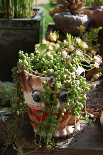 Senecio rowleyanus - String of Pearls