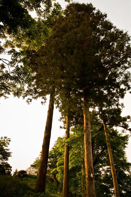 #56 Giant Nutmeg-yew of Fudouin