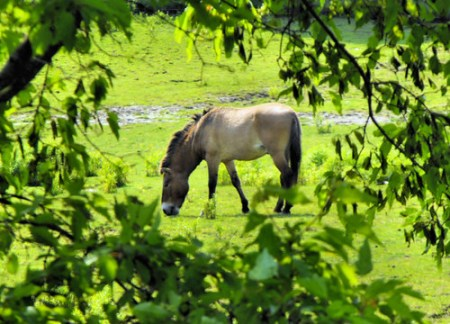 Przewalski  20110607_77