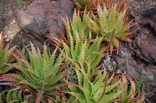 Aloe dorotheae.