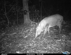 """Wild Boar - Camera trap picture from Shendurney Widlife Sanctuary • <a style=""""font-size:0.8em;"""" href=""""http://www.flickr.com/photos/109145777@N03/13794526663/"""" target=""""_blank"""">View on Flickr</a>"""