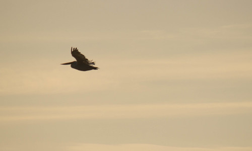 "Dalmatian Pelican, Daymar Bay, 22.09.16 (C.Allen) • <a style=""font-size:0.8em;"" href=""http://www.flickr.com/photos/30837261@N07/30093255996/"" target=""_blank"">View on Flickr</a>"