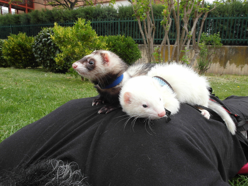 Frettchen Wallpaper The World S Most Recently Posted Photos Of Ferrets And Hurones
