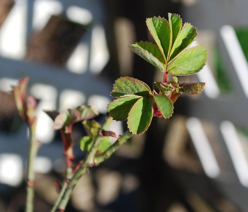Rose in Early Spring
