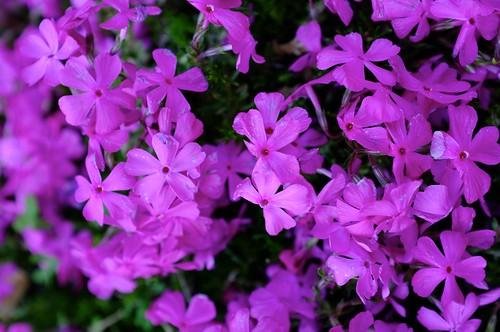 2011/04/24 Phlox subulata 芝桜