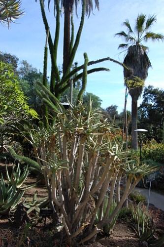 Aloe ramosissima.