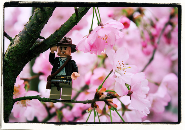 Indiana Jones and the Cherry Blossom