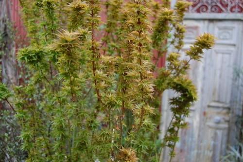 Japanese Maple - Acer palmatum Goshiki kotochime