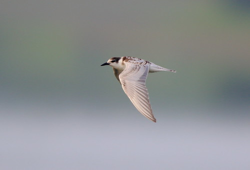 """Whiskered Tern, Penryn, 14.09.16 (M.Halliday) • <a style=""""font-size:0.8em;"""" href=""""http://www.flickr.com/photos/30837261@N07/30128261615/"""" target=""""_blank"""">View on Flickr</a>"""