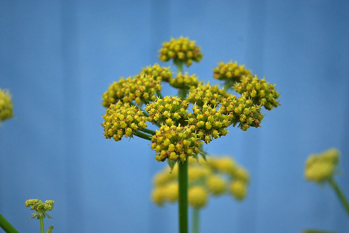 Lovage in flower