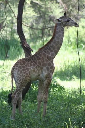 Baby Girafa!