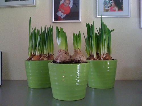 Verse narcissen en hyacinten...