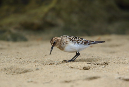 """Bairds Sandpiper, Newquay, 27.09.16 (M.Halliday) • <a style=""""font-size:0.8em;"""" href=""""http://www.flickr.com/photos/30837261@N07/30094237476/"""" target=""""_blank"""">View on Flickr</a>"""