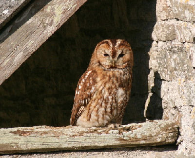 "Tawny Owl • <a style=""font-size:0.8em;"" href=""http://www.flickr.com/photos/30837261@N07/10723259243/"" target=""_blank"">View on Flickr</a>"