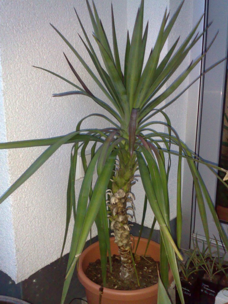 Topfpflanze Palme The World S Best Photos Of Palme And Yucca Flickr Hive Mind