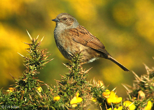 """Dunnock (J H Johns) • <a style=""""font-size:0.8em;"""" href=""""http://www.flickr.com/photos/30837261@N07/10723333966/"""" target=""""_blank"""">View on Flickr</a>"""