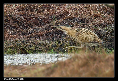 "Bittern (B.McGeough) • <a style=""font-size:0.8em;"" href=""http://www.flickr.com/photos/30837261@N07/10722969464/"" target=""_blank"">View on Flickr</a>"