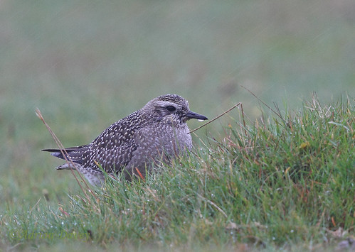 "American Golden Plover, Davidstow, 17.10.14 (A.Davey) • <a style=""font-size:0.8em;"" href=""http://www.flickr.com/photos/30837261@N07/15578369521/"" target=""_blank"">View on Flickr</a>"