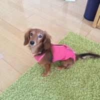 術後の傷口を守る!普段通りの生活ができる犬の術後服、エリザベスウエア。