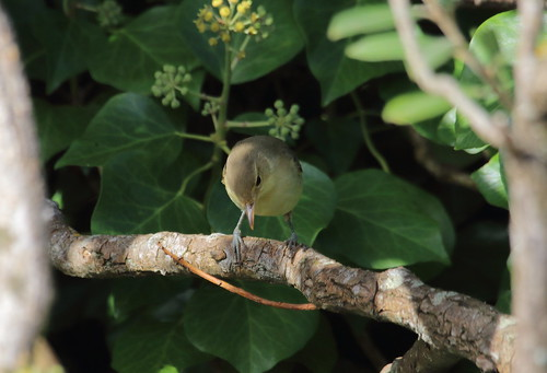 """Melodious Warbler, Lands End, 250915 (M.Halliday) • <a style=""""font-size:0.8em;"""" href=""""http://www.flickr.com/photos/30837261@N07/21943970149/"""" target=""""_blank"""">View on Flickr</a>"""