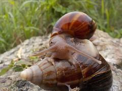 Escargot vu lors d'une rando