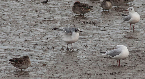 """Franklins Gull, Hayle Estuary, 27.10.16. (M.Curtis) • <a style=""""font-size:0.8em;"""" href=""""http://www.flickr.com/photos/30837261@N07/30565289666/"""" target=""""_blank"""">View on Flickr</a>"""